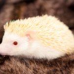 ハリネズミのアルビノの 繁殖について