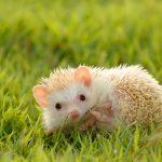 ハリネズミの飼育、床材のペットシーツと人工芝について