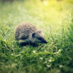 ハリネズミの飼育、広葉樹の床材