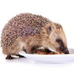 ハリネズミの食事は何回?ご飯の時間は?