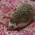 ハリネズミにピンクマウスを与える頻度と食事量