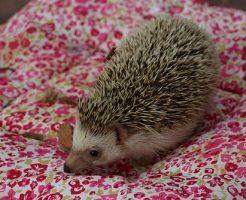 ハリネズミ ピンクマウス 頻度 食事量